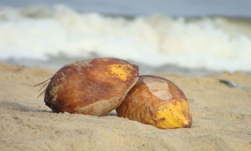Zdjecie SRI LANKA / Sri Lanka / Negombo / kokos na plaży