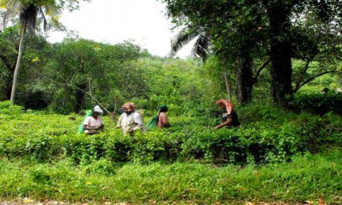Zdjęcie SRI LANKA / okolice Kandy / śr.cz.kraju / Ceylon Tea