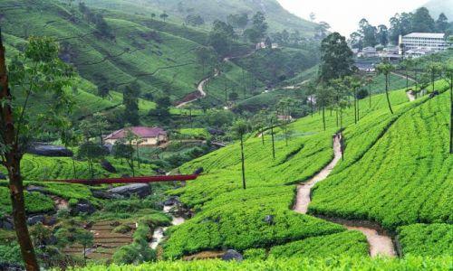 Zdjęcie SRI LANKA / okolice Kandy / plantacje herbaty / listopad na Sri Lance