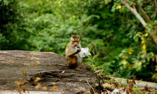 SRI LANKA / Anuradhapura / Anuradhapura / Małpka