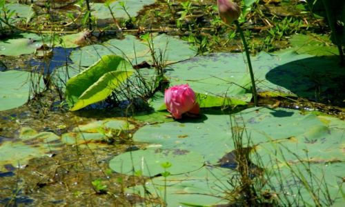 Zdjęcie SRI LANKA / Pulanawura / Pulanawura / Kwiat