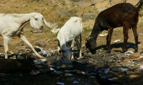 Zdjęcie SRI LANKA / Nagmbo / Nagmbo / Koza na pastwisku