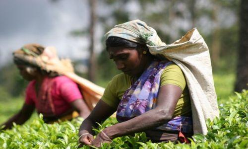 Zdjecie SRI LANKA / - / Sri Lanka / Plantacje herbaty