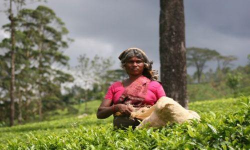 Zdjecie SRI LANKA / - / Sri Lanka / plantacje herba