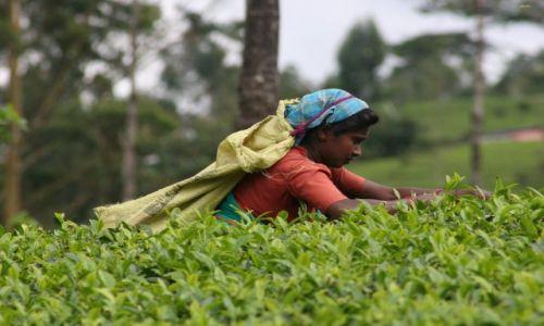 Zdjecie SRI LANKA / - / Sri Lanka / Lankija zbierajaca herbate