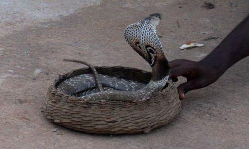 Zdjęcie SRI LANKA / Colombo / Colombo / ... teatr sensacji.... czyli kobra...