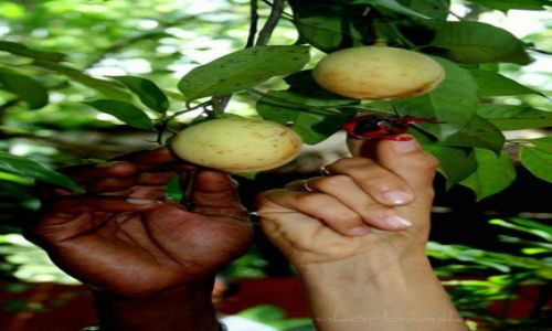 Zdjęcie SRI LANKA / - / ogród botaniczny / B&W
