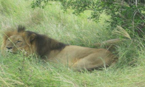 Zdjęcie SUAZI / Royal National Park HLANE - Suazi / Royal National Park HLANE - Suazi / Król  lew
