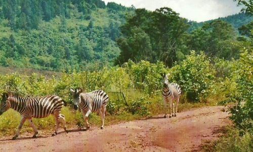 Zdjęcie SUAZI / Zach. Suazi / Milwane Wildlife Sanctuary / Zebry