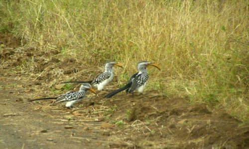 Zdjecie SUAZI / brak / Hlane Royal National Park / Dzioborożce