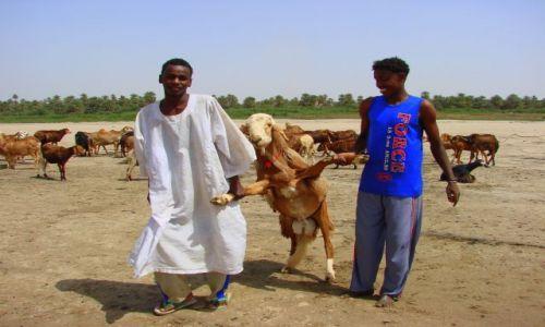 Zdjęcie SUDAN / Dongala / Dongala / Baranek