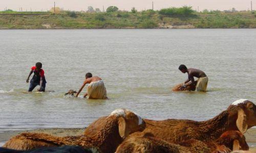Zdjęcie SUDAN / Dongala / Dongala / Kąpiel  baranów