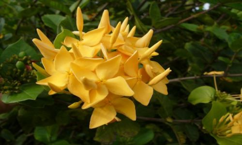 SURINAM / Moengo / Dżungla / Żółtek