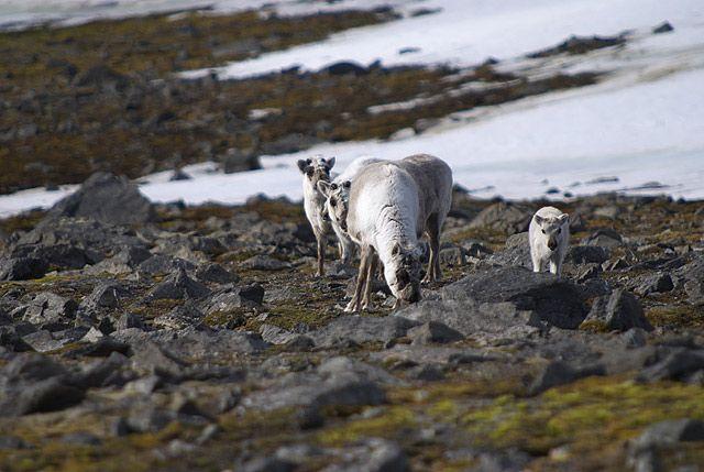 Zdjęcia: Hornsund, Spitsbergen, renifer svalbardzki, SVALBARD