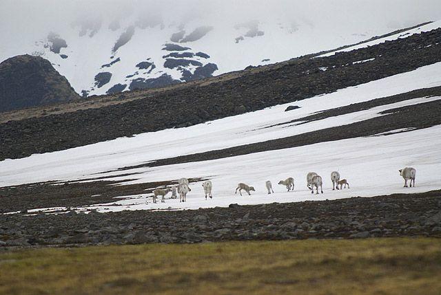 Zdj�cia: Hornsund, Spitsbergen, renifer svalbardzki, SVALBARD