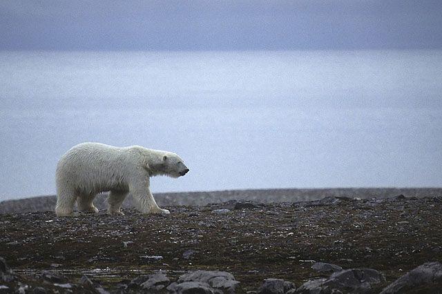 Zdjęcia: Hornsund, Spitsbergen, Niedźwiedź polarny, SVALBARD