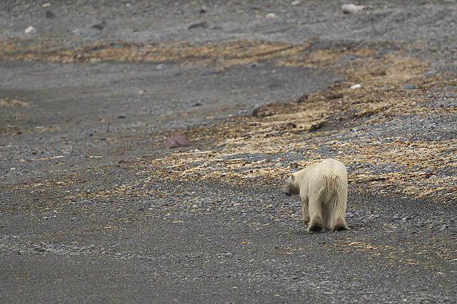Zdj�cia: Hornsund, Spitsbergen, Nied�wied� polarny, SVALBARD