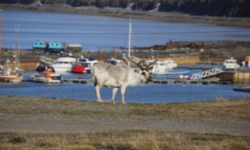 Zdjęcie SVALBARD / Spitsbergen / Port Longyearbyen / Spitsbergen, Renifer