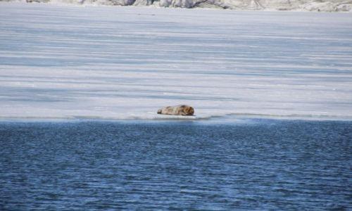 Zdjęcie SVALBARD / Spitsbergen / Isfjorden / Zaspana :)