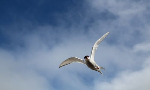 Zdjęcie SVALBARD / Spitsbergen / Hotellneset / Rybitwa Popielata