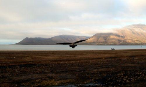 Zdjęcie SVALBARD / Spitsbergen / Adventpynten / Wydrzyk Ostrosterny