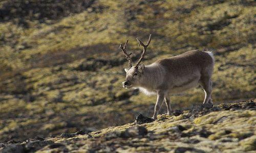 Zdjecie SVALBARD / Spitsbergen / Hornsund / renifer svalbardzki
