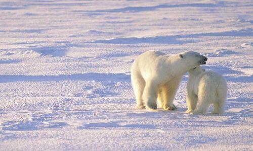 Zdjęcie SVALBARD / Spitsbergen / Hornsund / Niedźwiedź polarny