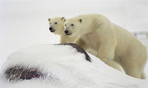 SVALBARD / Spitsbergen / Hornsund / Niedźwiedź polarny