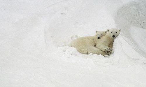 Zdjecie SVALBARD / Spitsbergen / Hornsund / Niedźwiedź pola