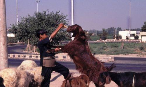 SYRIA / Północna Syria / Ar-Rakka / Kozy zjedzą wszystko