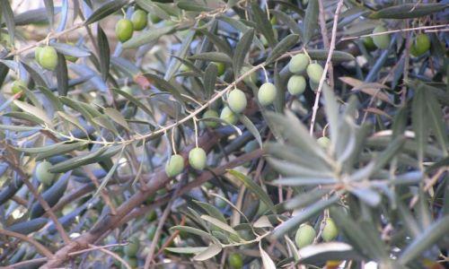 Zdjęcie SYRIA / gdzieś na zachodzie / rzeczaędrców jest zrozumienie,dyskusja,głupca trwanie w błędzie / gałązka oliwna ...