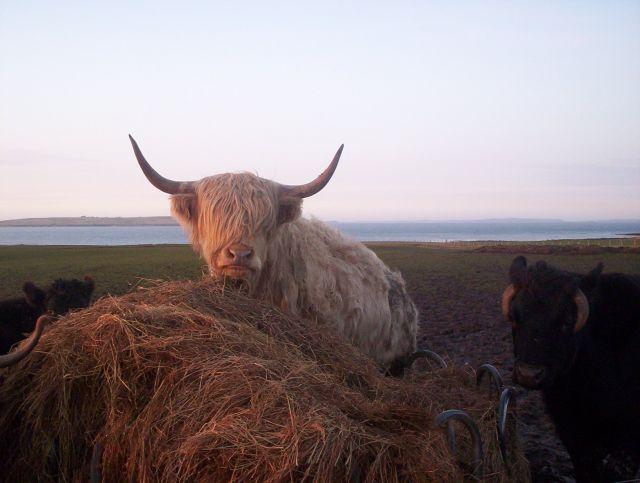 Zdjęcia: Koło John o'Groats, Lands end, Szkockie krowy, SZKOCJA