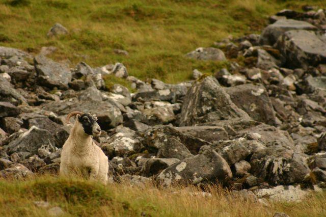 Zdjęcia: Po drodze na Ben Nevis, Ben Nevis, Owca, SZKOCJA
