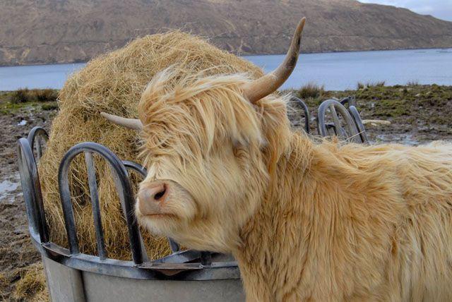 Zdjęcia: Wyspa Skye, Krowka przy obiadku, SZKOCJA