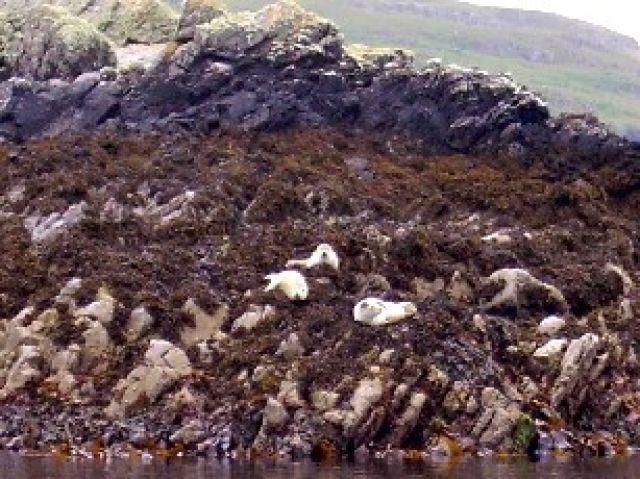 Zdjęcia: wyspa Handa, północ, foczki, SZKOCJA
