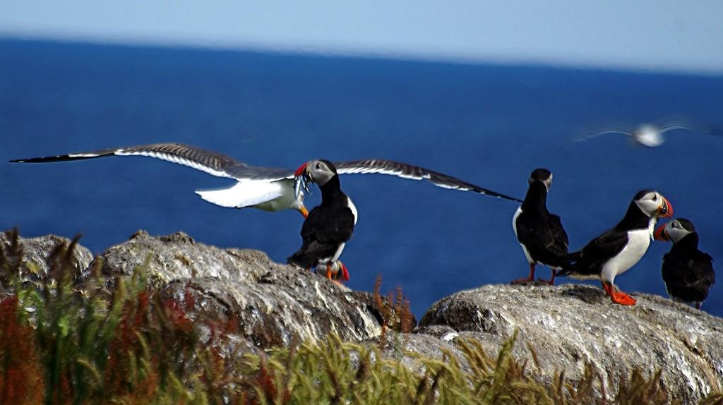 Zdjęcia: Isle of May, Puffins, SZKOCJA