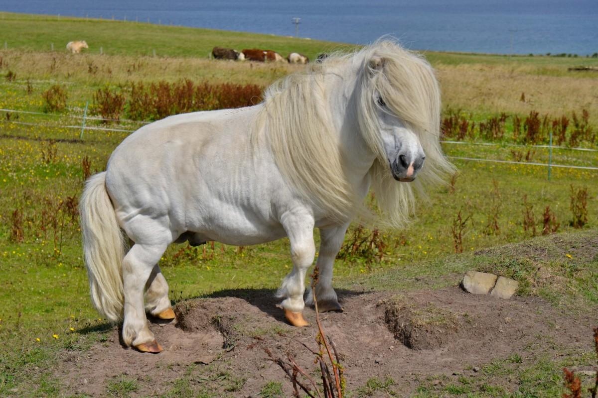 Zdjęcia: Hoy, Orkady, Pony, SZKOCJA