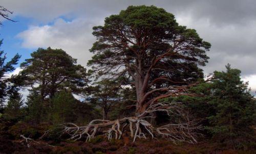 Zdjęcie SZKOCJA / Highland / Glenmore, Forest Park / Drzewo życia