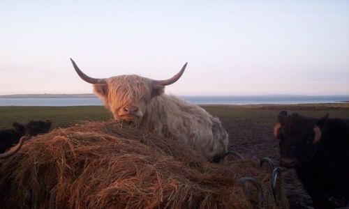 Zdjecie SZKOCJA / Lands end / Koło John o'Groats / Szkockie krowy