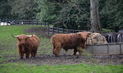 Zdjecie SZKOCJA / Scottish Borders / Galashiels / Highland Cow