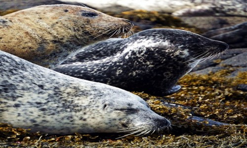 SZKOCJA / Wyspa Skye / Loch Dunvegan. / Trzy pyszczki