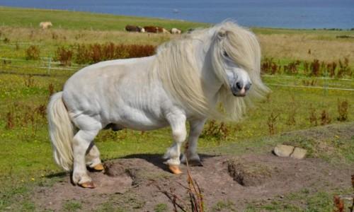 Zdjecie SZKOCJA / Orkady / Hoy / Pony