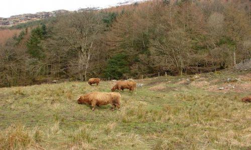 Zdjecie SZKOCJA / Agryll Bute / Lochgoilhead / lesne krowki