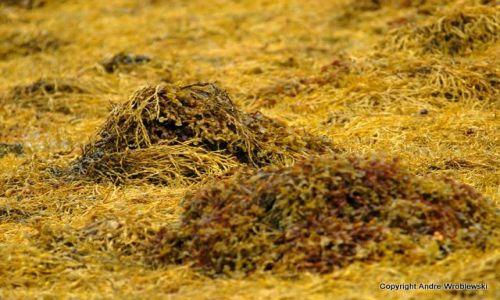 Zdjecie SZKOCJA / Isle of Skye / Dunvegan / Seaweed
