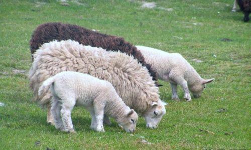 Zdjęcie SZKOCJA / Wyspy Owcze / torfowiska / Jak Owcze,... to owce !