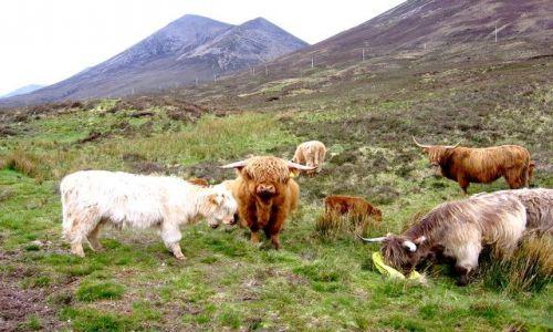 Zdjęcie SZKOCJA / Isle of Sky / Portree / Highland cattle