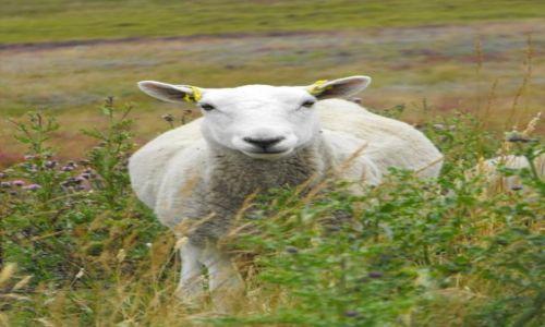 Zdjecie SZKOCJA / - / Grampian Mountains / owca z gór Grampian