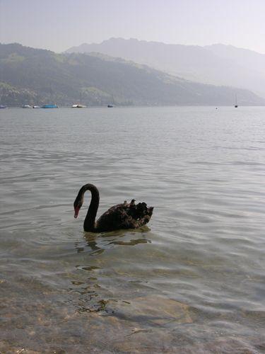 Zdjęcia: Interlaken, Czarna owca, SZWAJCARIA