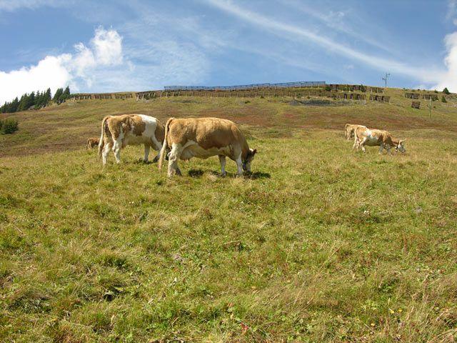 Zdjęcia: Interlaken, Krowy w moro, SZWAJCARIA
