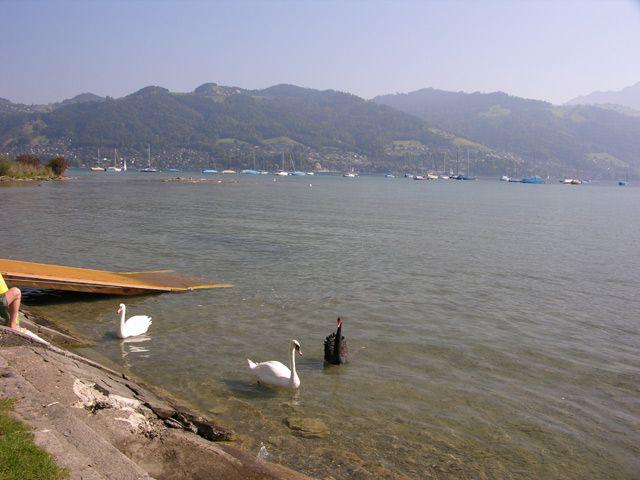Zdjęcia: Interlaken, Czarny łabędź, SZWAJCARIA